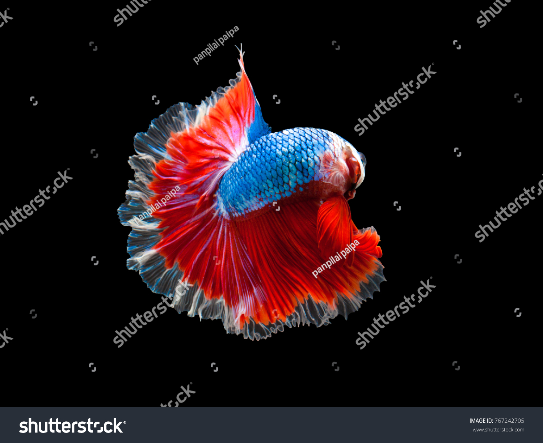 Multi Color Siamese Fighting Fish Rosetailhalfmoonfighting Fish ...