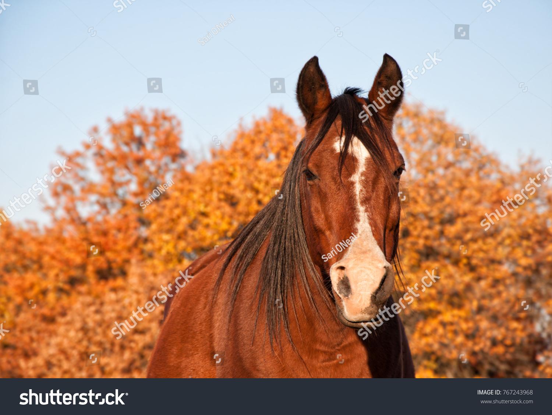 stock-photo-red-bay-arabian-horse-in-eve