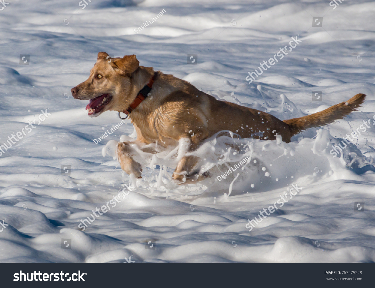 An energetic yellow Labrador Retriever runs through the breaking surf at the dog-friendly beach of Carmel by the Sea along the Pacific coast of Monterey Bay in central California.