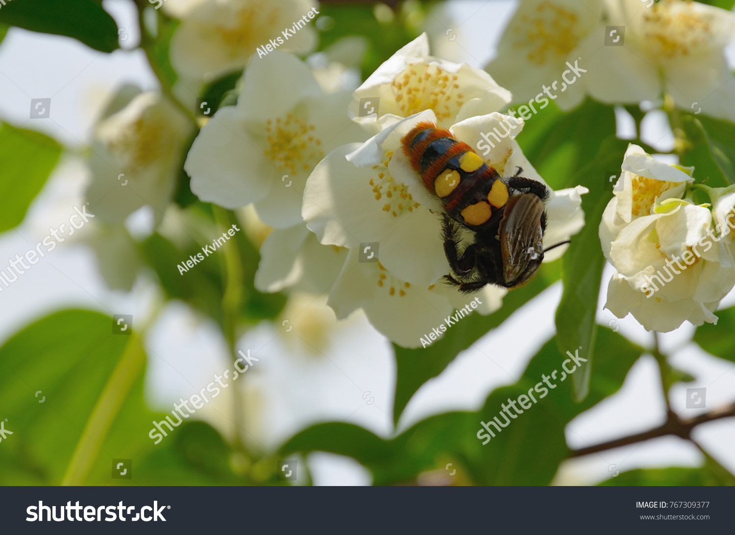 Summer background jasmine flowers insect hornet stock photo summer background of jasmine flowers with insect hornet delicate white yellow jasmine flowers on blurred izmirmasajfo Images