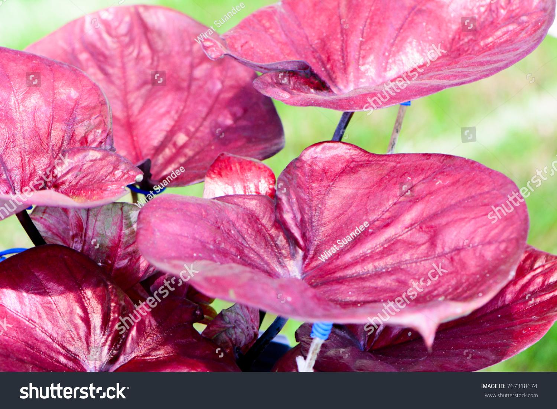 Colorful Caladium Leave Background Colorful Fancy Stock Photo (Edit ...