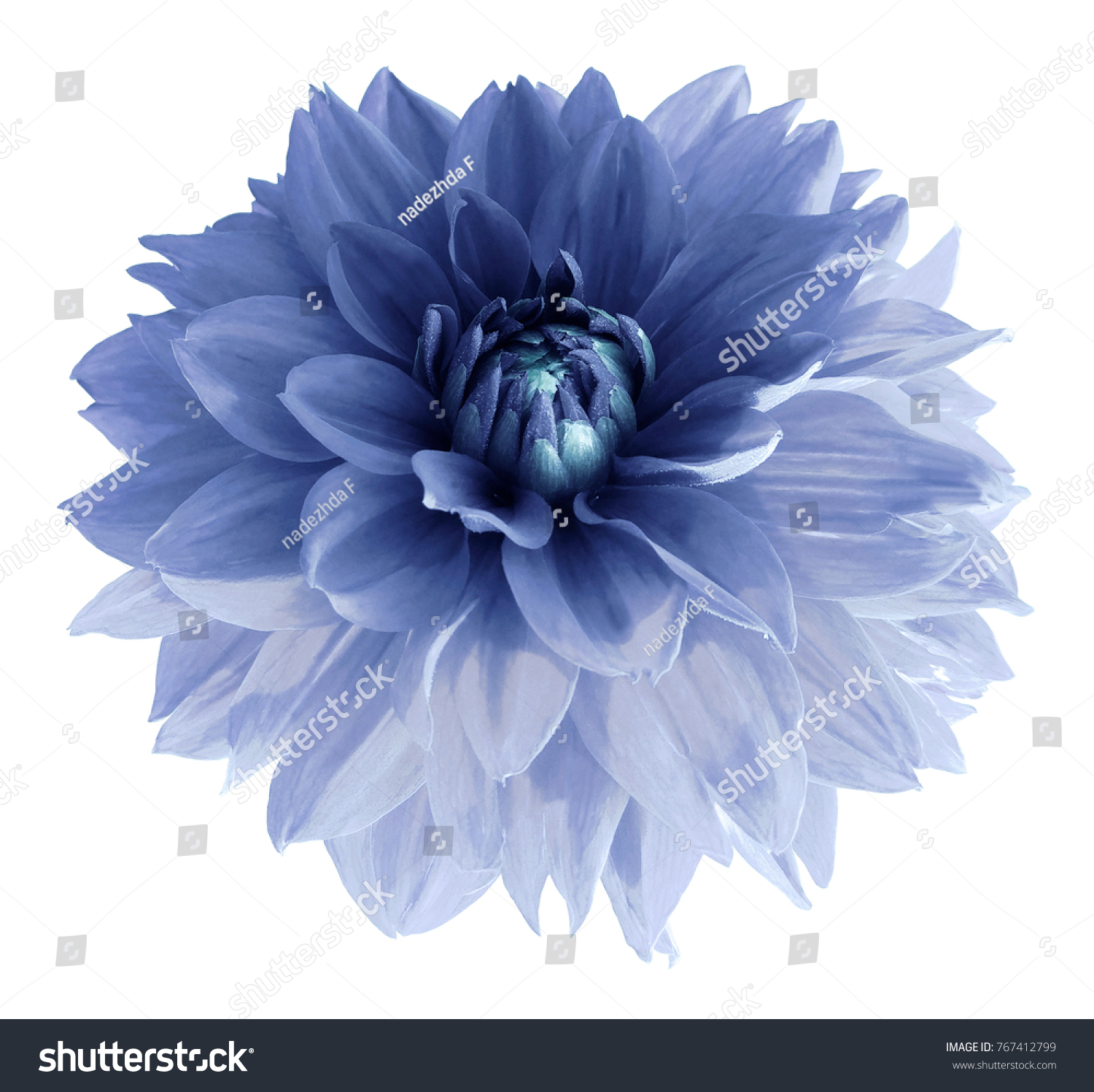 Light Blue Dahlia Flower Isolated On Stock Photo Edit Now