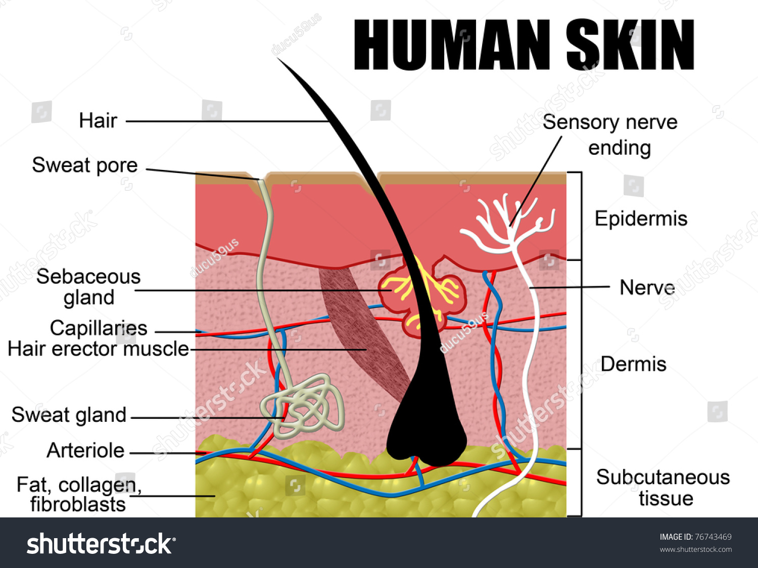Human Skin Cross-Section, Vector Illustration - Useful For ...