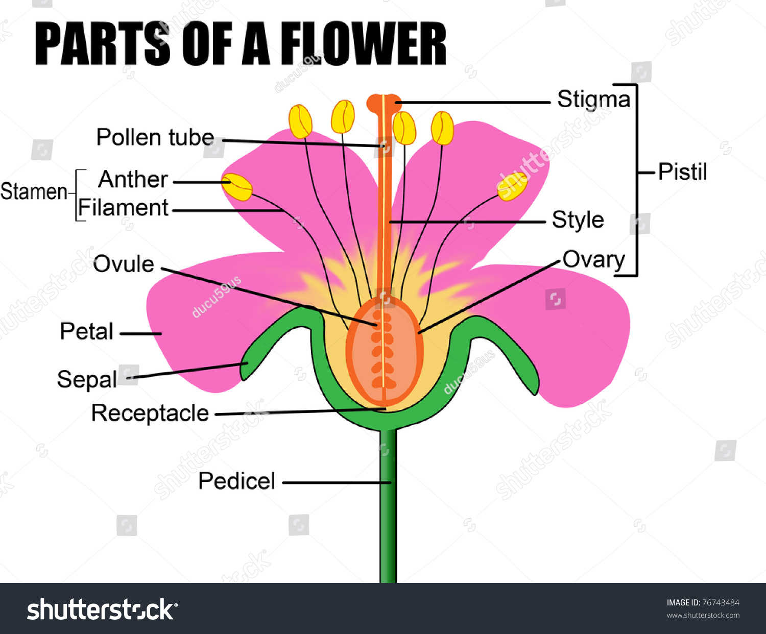 parts flower vector illustration flower diagram stock vector