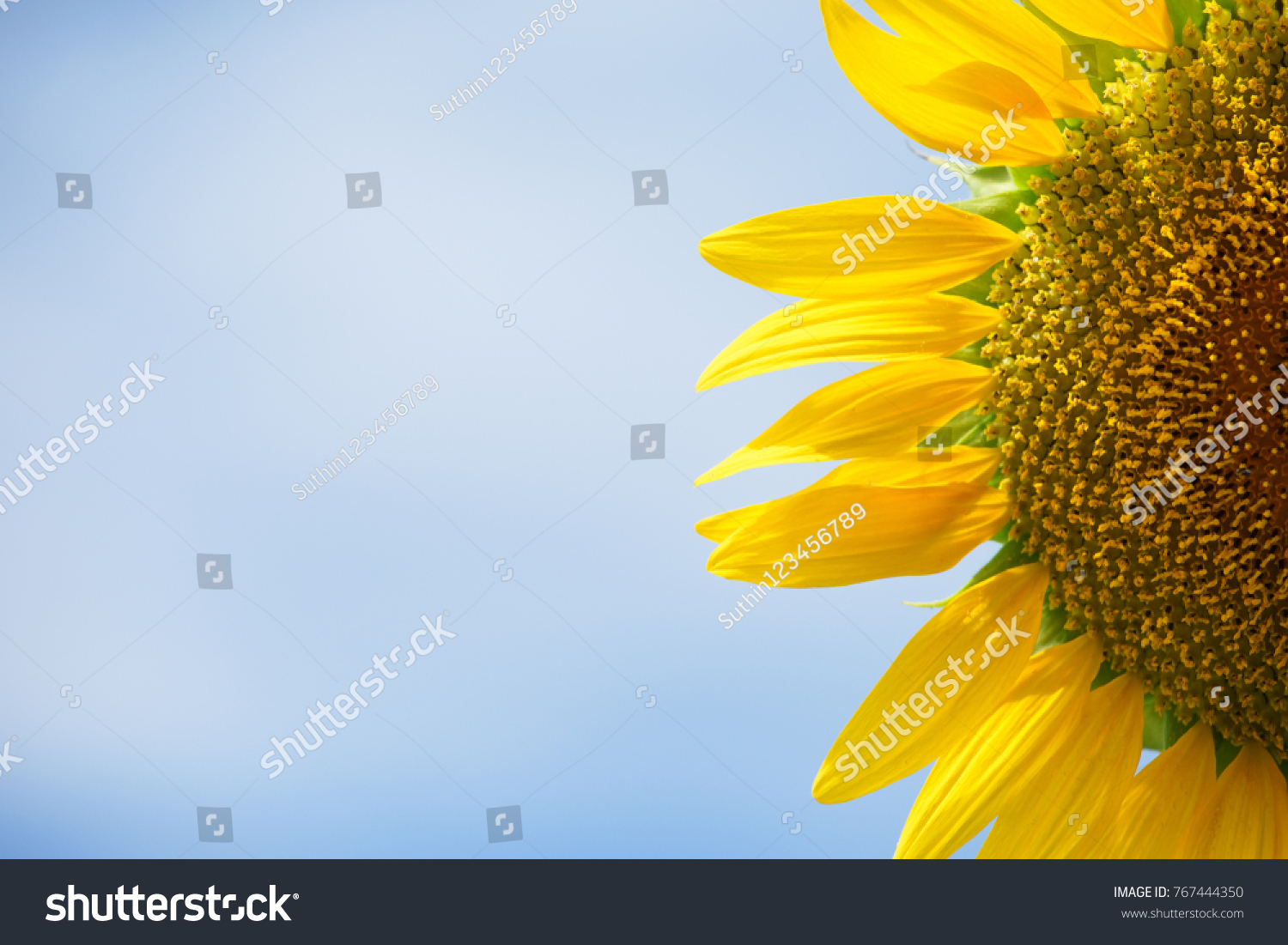 Beautiful sunflower with blurred background #767444350