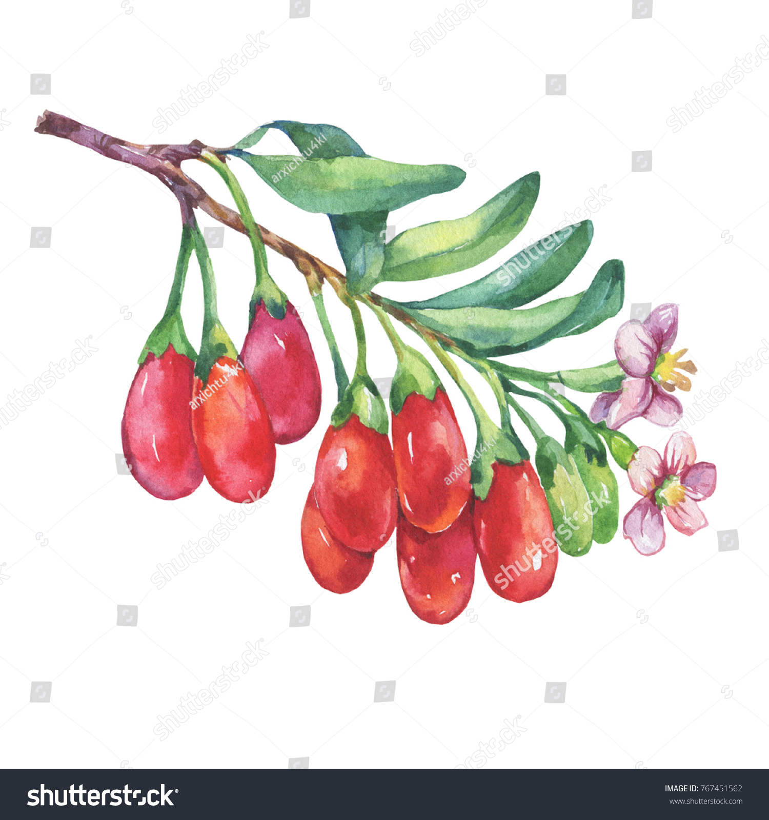 Branch Goji Plant Red Berries Flowers Stock Illustration 767451562