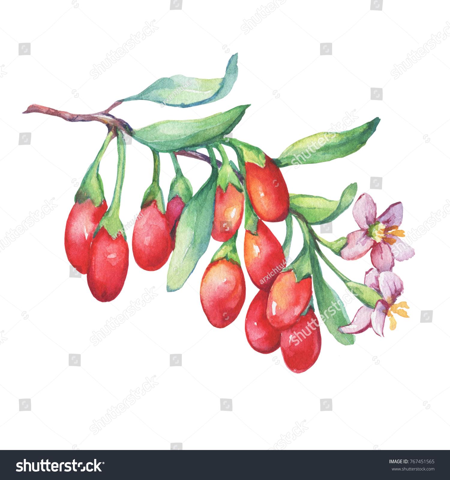 Branch Goji Plant Red Berries Flowers Stock Illustration 767451565