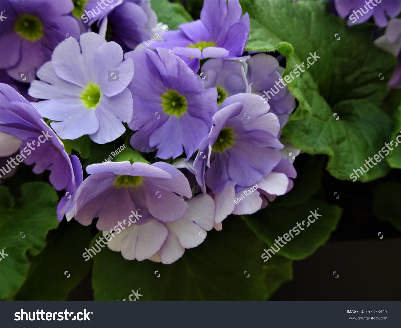 Springtime Flowers Blue Purple Flower Yellow Centre Stock Photo