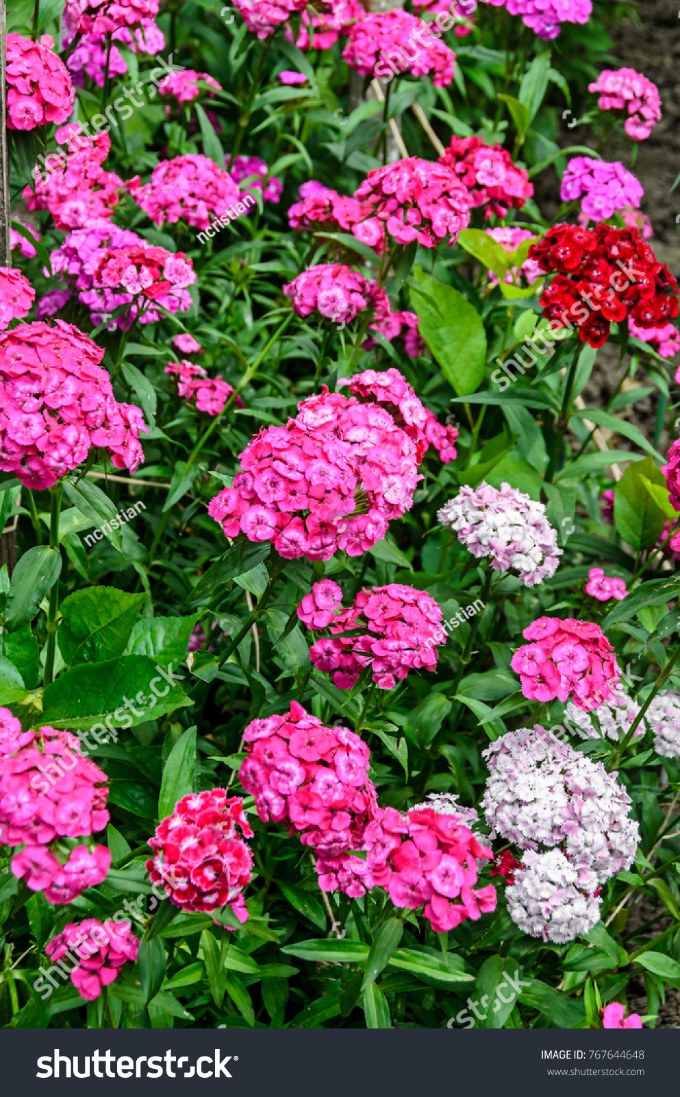 Pink And White Dianthus Flowers Plants Outdoor Garden Close Up