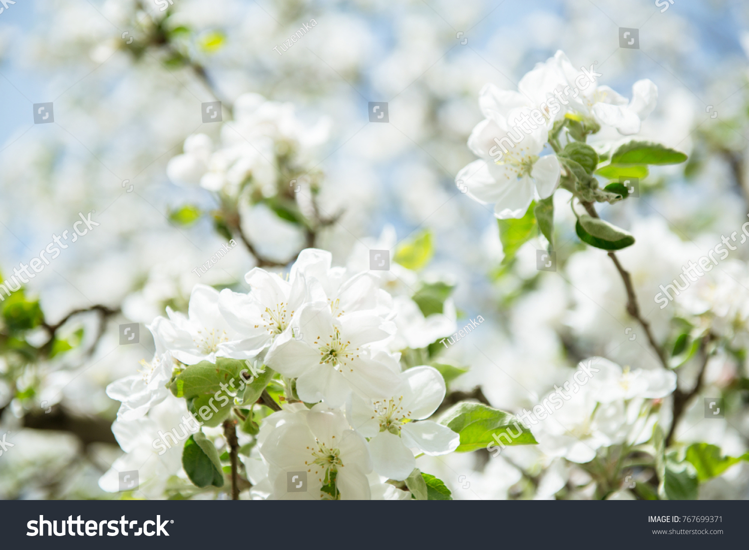 Apple blossoms blooming apple tree branch with large white flowers blooming apple tree branch with large white flowers flowering spring beautiful natural seasonsl background with apple trees flowers ez canvas mightylinksfo