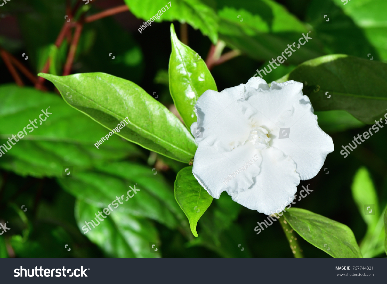Tabernaemontana divaricata crepe jasmine clavel de stock photo edit tabernaemontana divaricata crepe jasmine clavel de la india east indian rosebay pinwheel izmirmasajfo