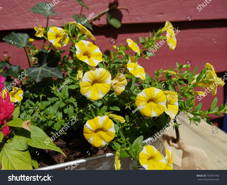 Yellow bellshaped flowers white streaks big stock photo download yellow bell shaped flowers with white streaks in a big pot by the roadside mightylinksfo