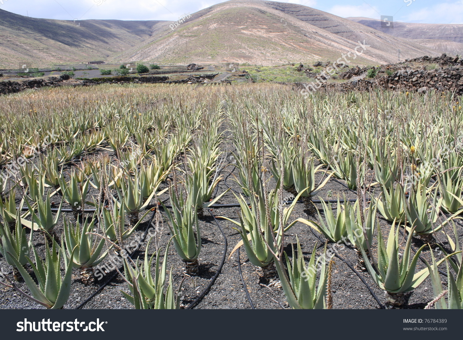 aloe vera plantation outdoors lanzarote island stock photo 76784389 shutterstock. Black Bedroom Furniture Sets. Home Design Ideas