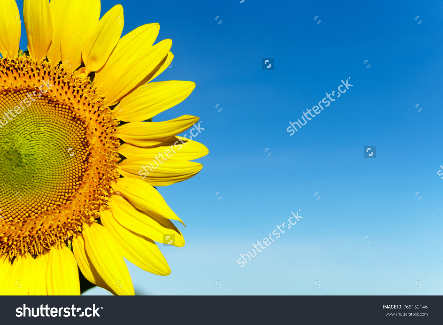Sunflower with blue sky background. with copy space for your text message #768152146