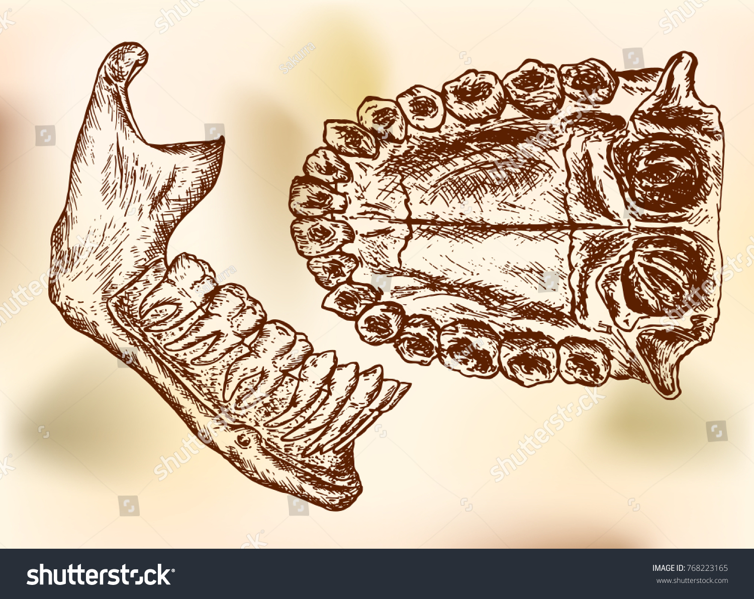 Mandible lower jawbone view teeth upper stock vector 768223165 the mandible lower jawbone and view of teeth in the upper jaw drawing biocorpaavc Image collections