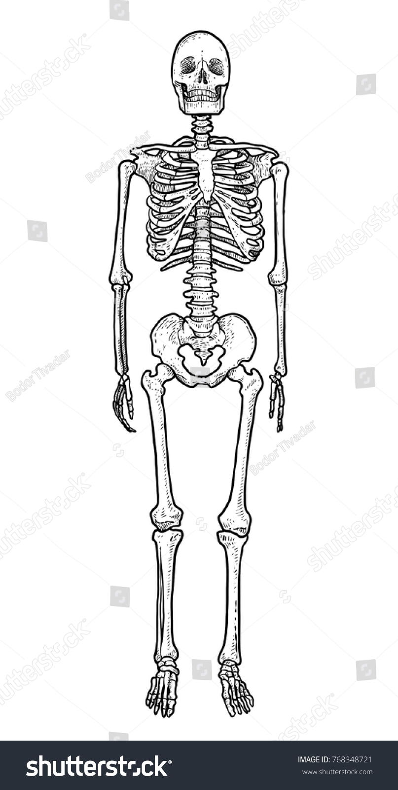 Human Skeleton Illustration Drawing Engraving Ink Stock Vector