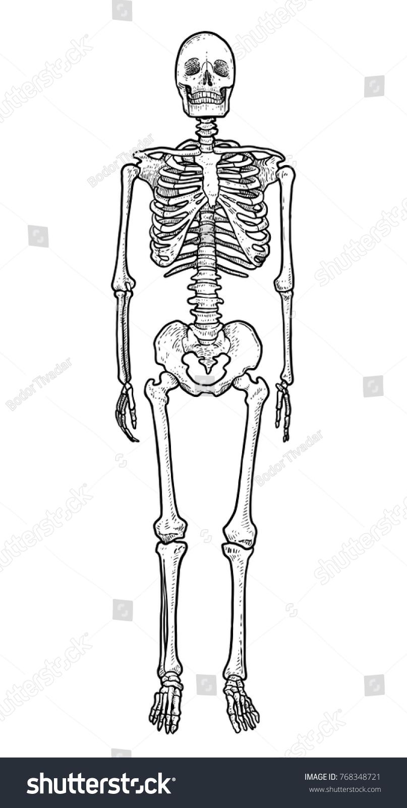 Human Skeleton Illustration Drawing Engraving Ink Stock Vector