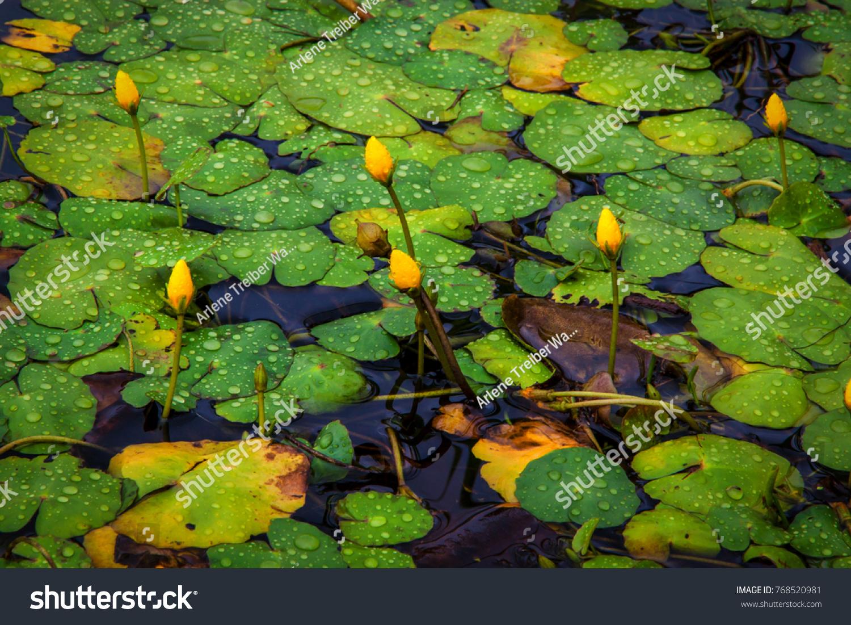 Lily Pads Granite Basin Lake Granite Stock Photo Edit Now