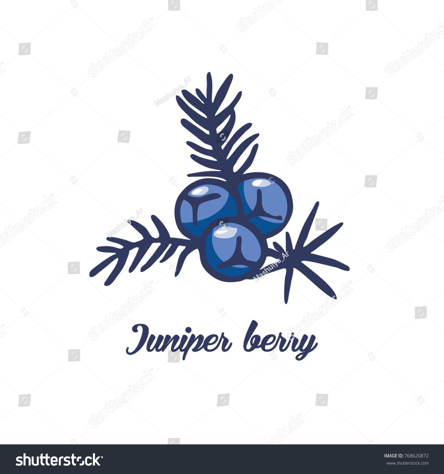 Juniper Berry Icon Vector Illustration Stock Vector Royalty Free