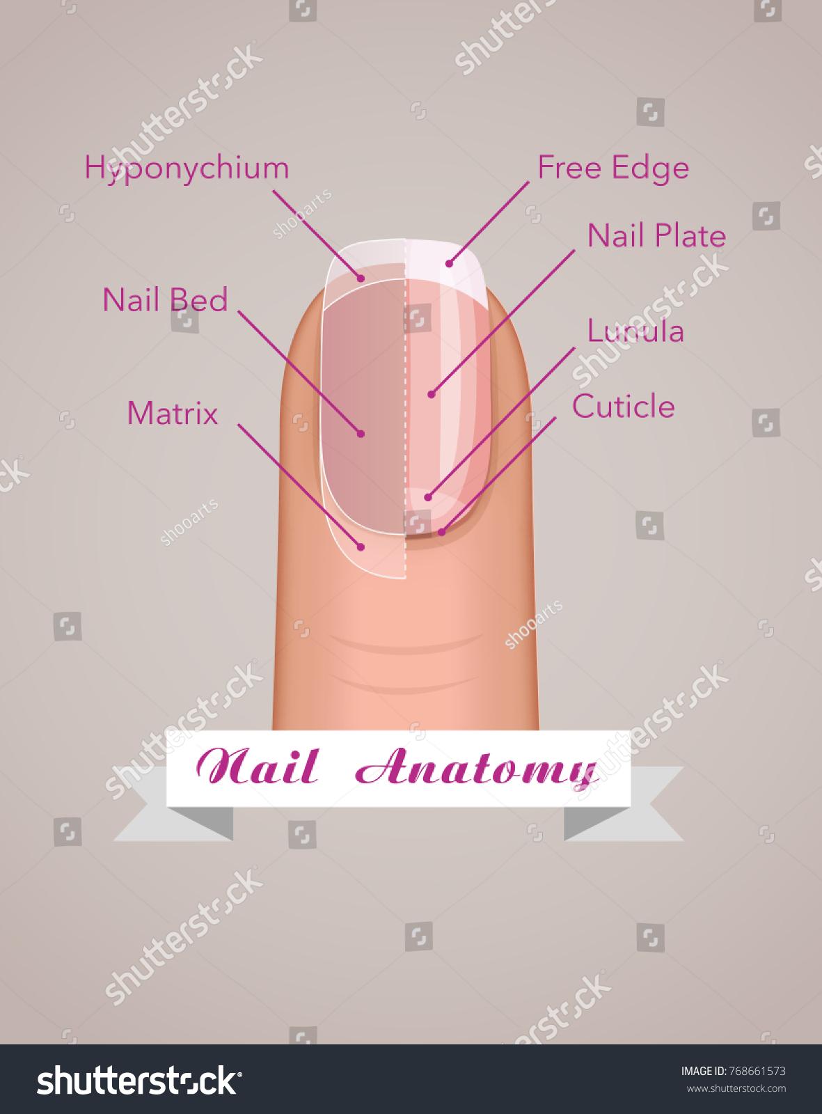 Structure Anatomy Human Nail Vector Stock Vector 768661573