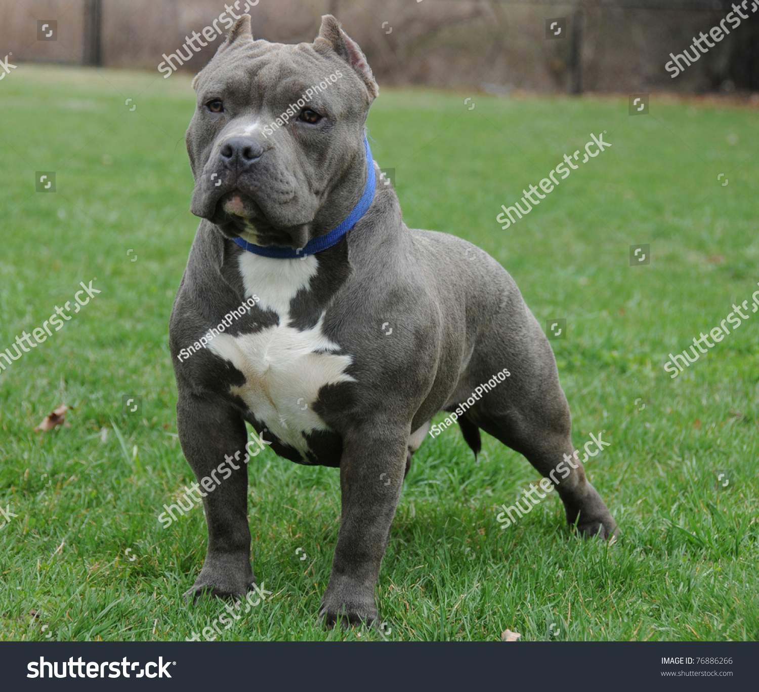 Show Me A Picture Of A Bully Dog