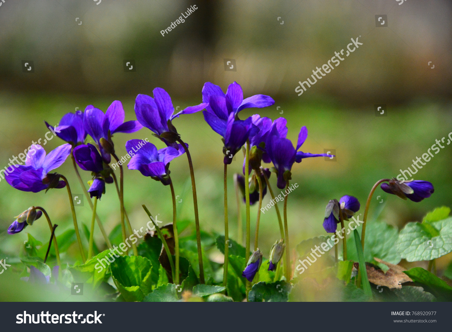 Violets Flowers Blooming Spring Meadow Stock Photo Edit Now