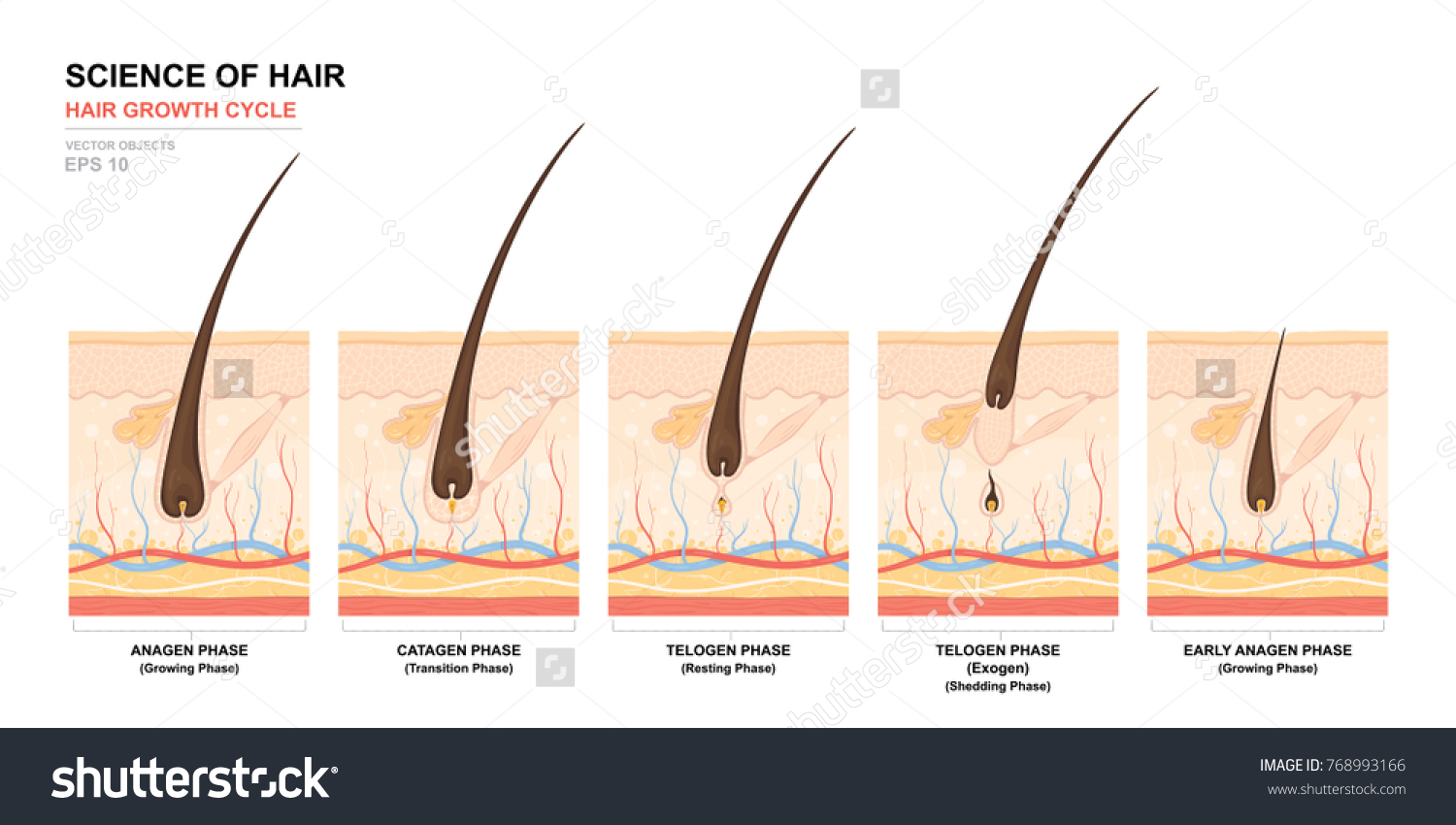 Anatomical Training Poster Hair Growth Phase Stock Vector (Royalty ...