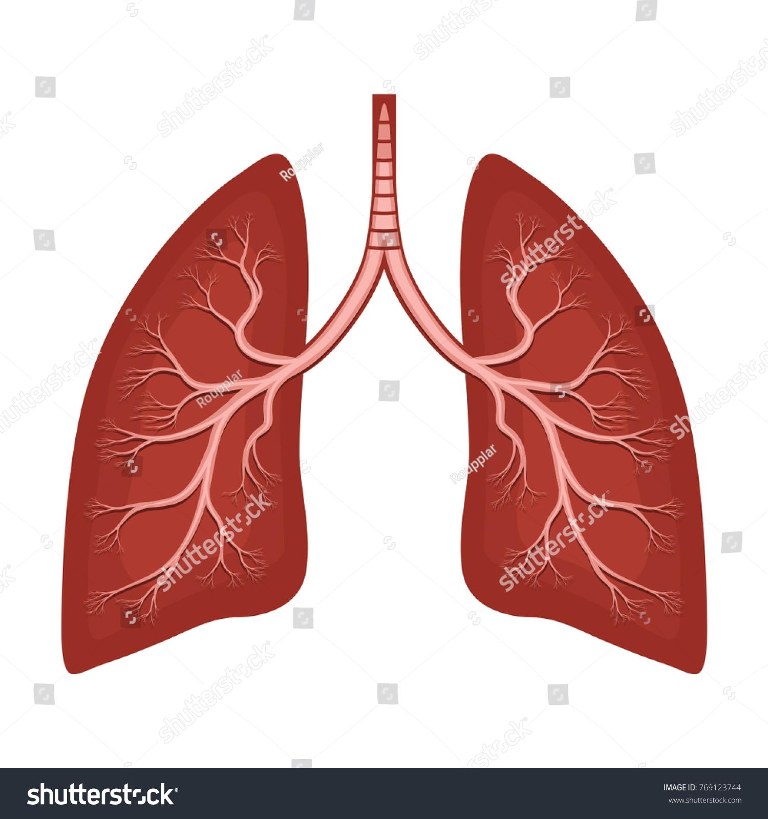 Human Lungs Anatomy Diagram Illness Respiratory Stock Vektorgrafik