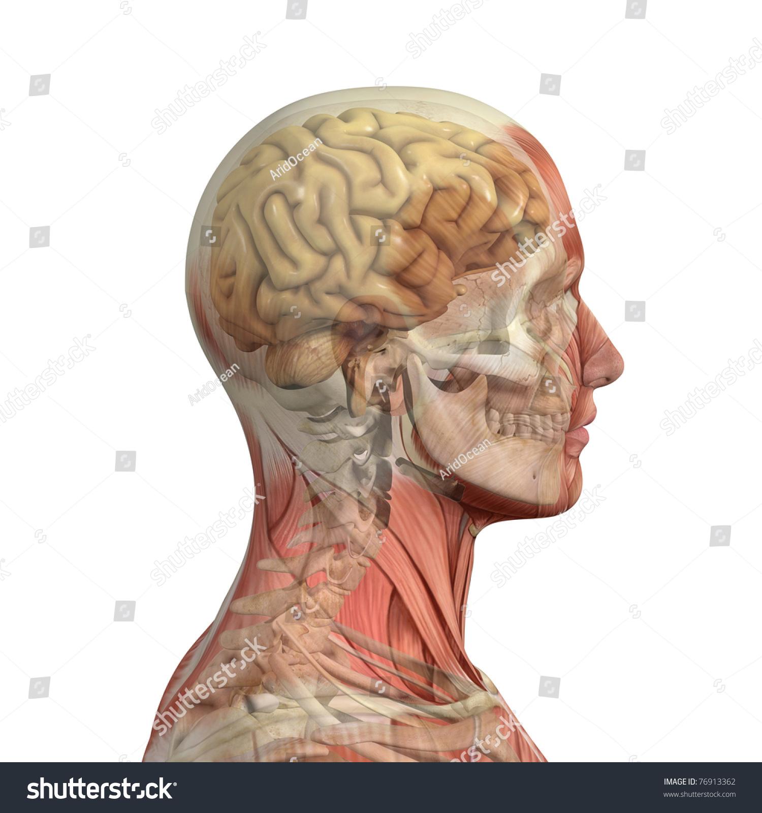 Male Head Skull Brain Showing Through Stock Illustration ...