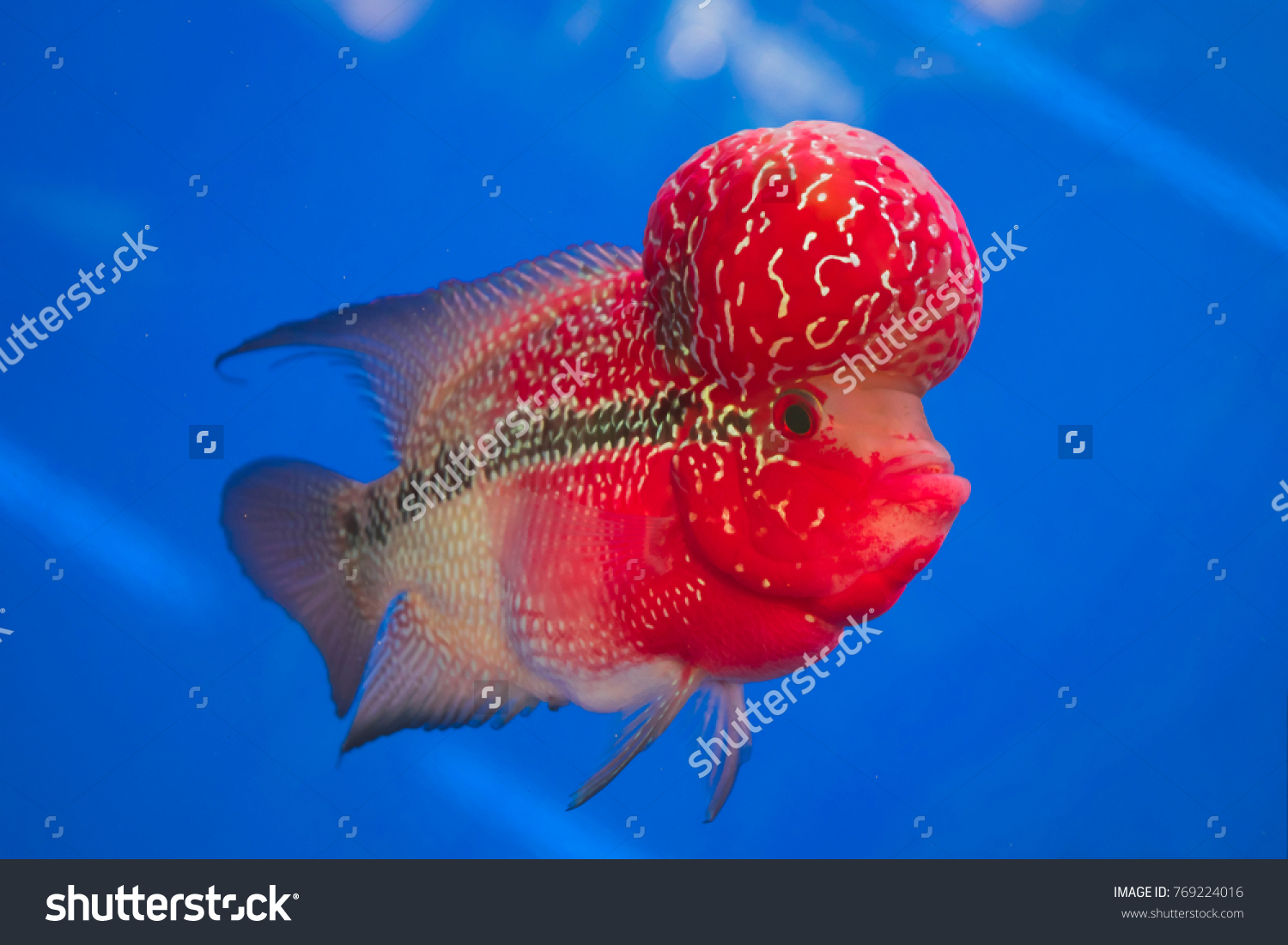 Colorful Red Fish Flowerhorn Cichlids Beautiful Stock Photo (Royalty ...