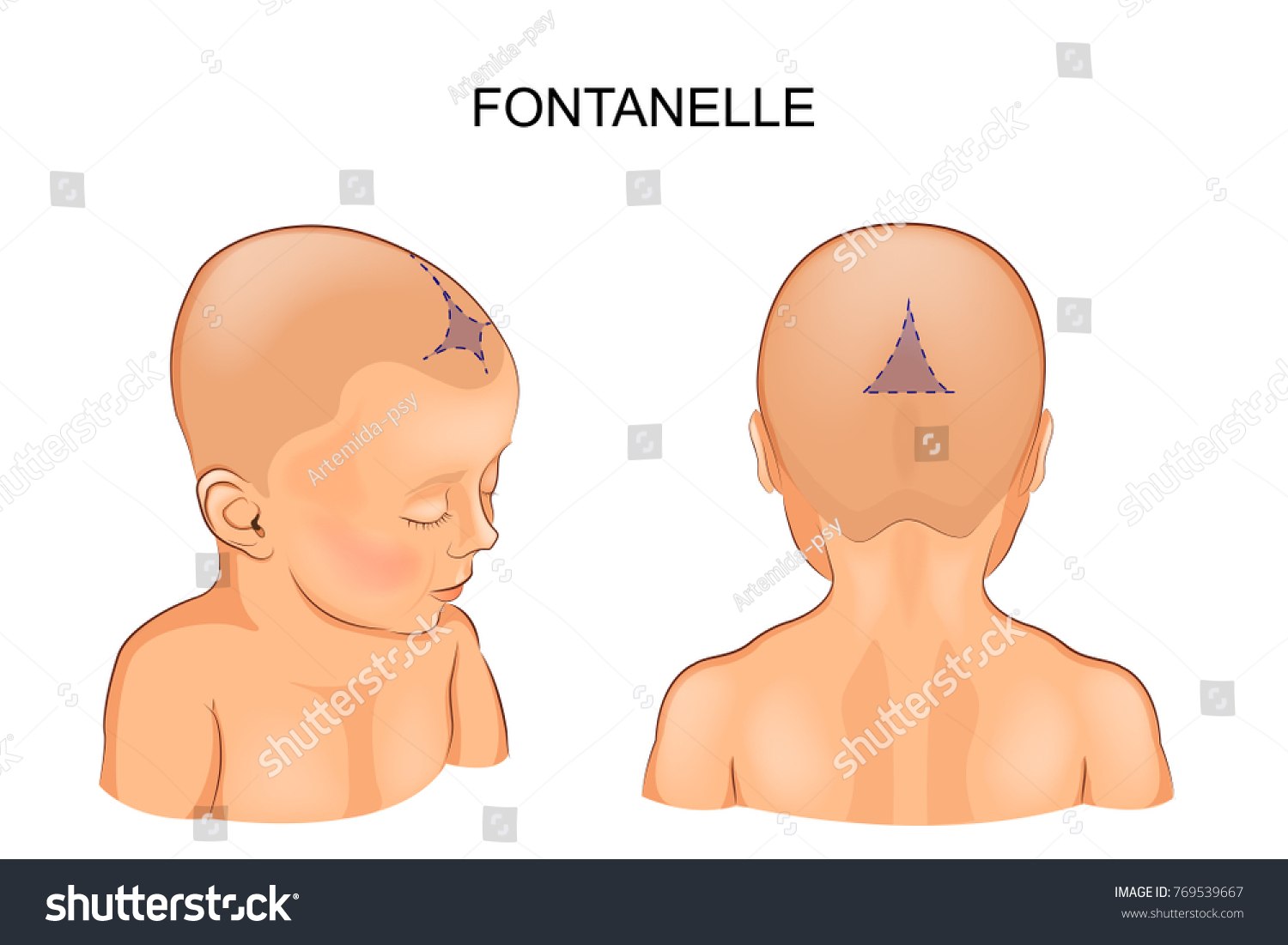 Vector Illustration Fontanelle Infant Stock Vector Royalty Free