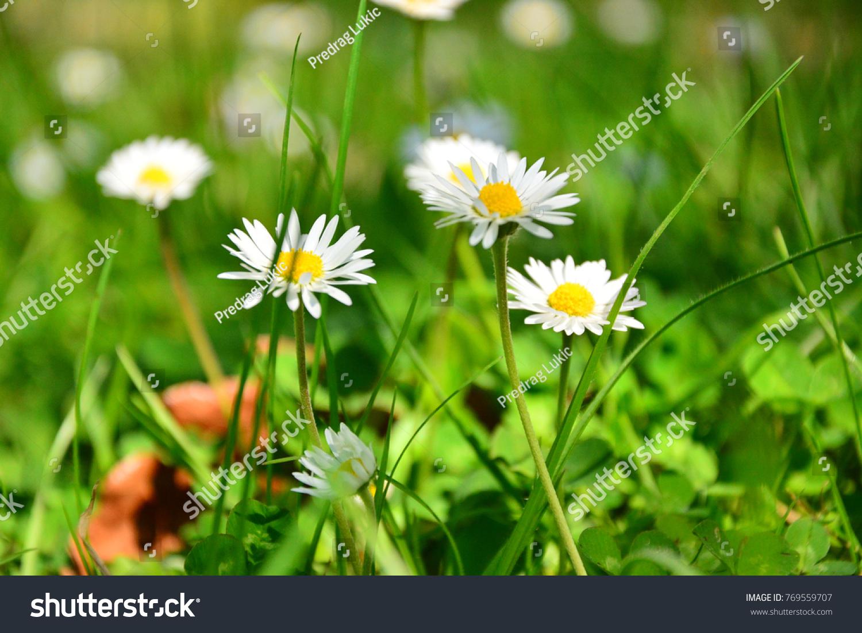 Macro Shot Of Small Daisy Type Wild Flowers Ez Canvas