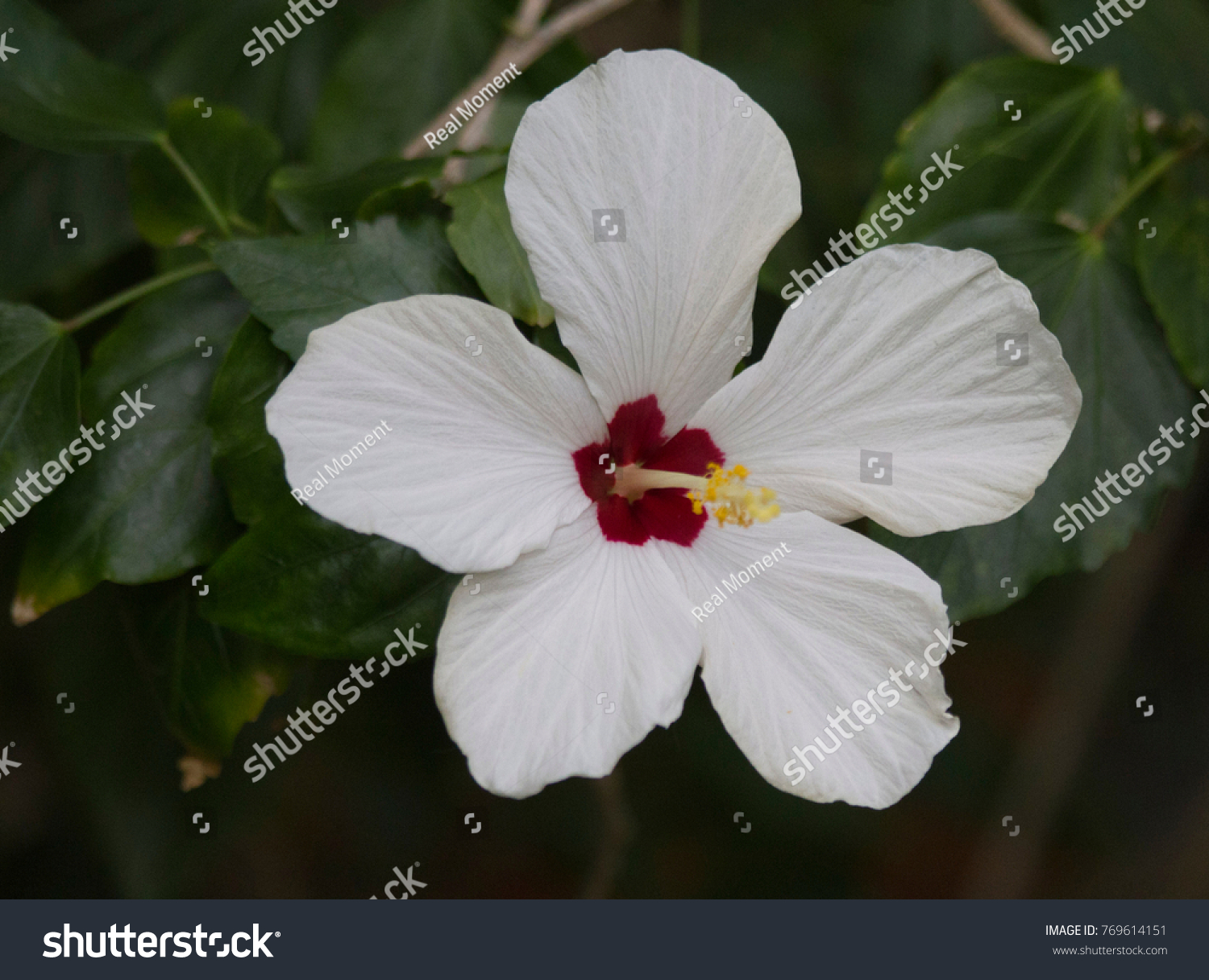 Beautiful White Big Flower Hibiscus Hibiscus Stock Photo Edit Now