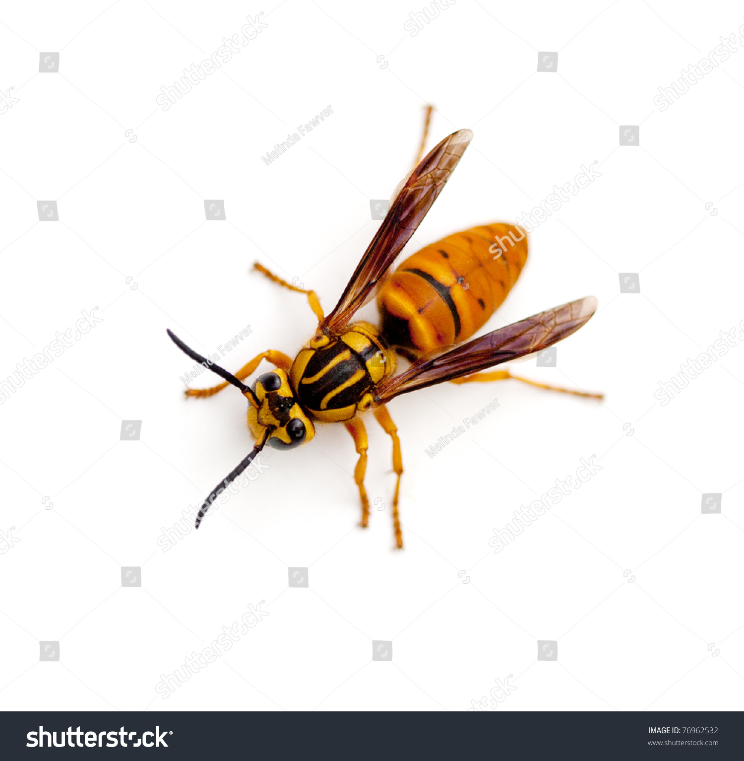 how to tell a yellow jacket from a wasp