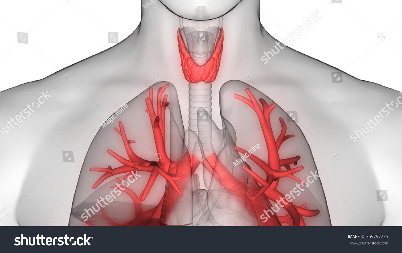 Human Body Glands Anatomy Thyroid Gland Stock Illustration - Royalty ...