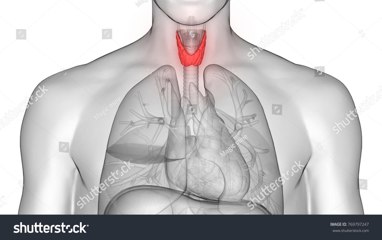 Human Body Glands Anatomy Thyroid Gland Stock Illustration 769797247
