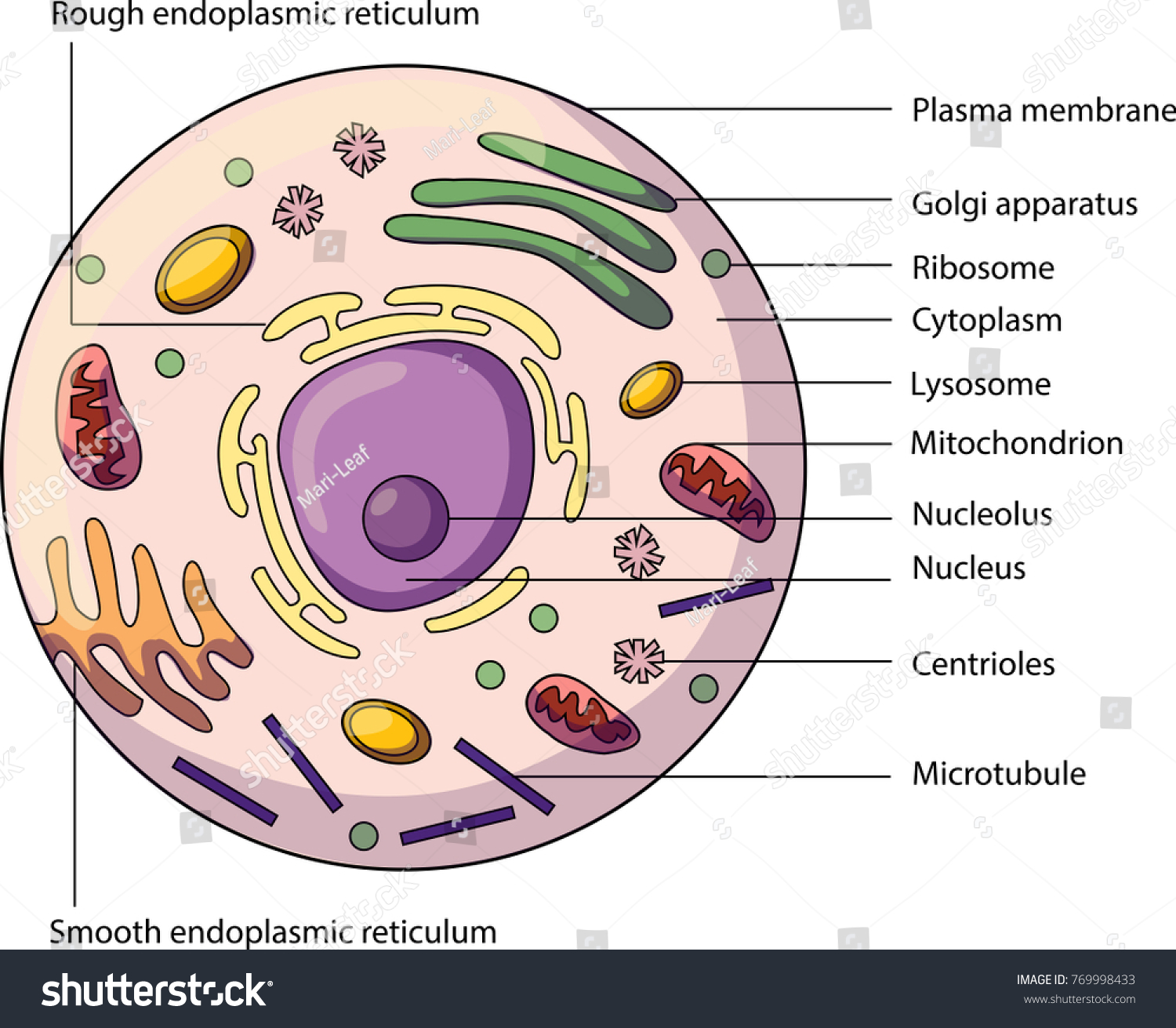 Structure Animal Cell Labeled Parts Biology Stock Vector Royalty 3d Plant Diagram Not Labelled The Of An With Illustration