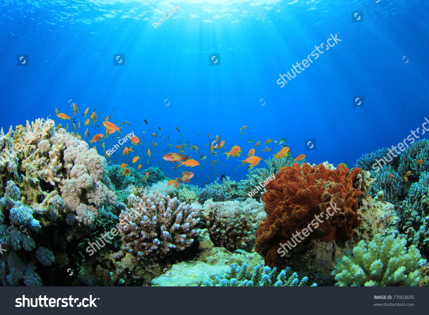 Coral reef tropical fish sunlight stock photo 77003605 for Reef tropical fish