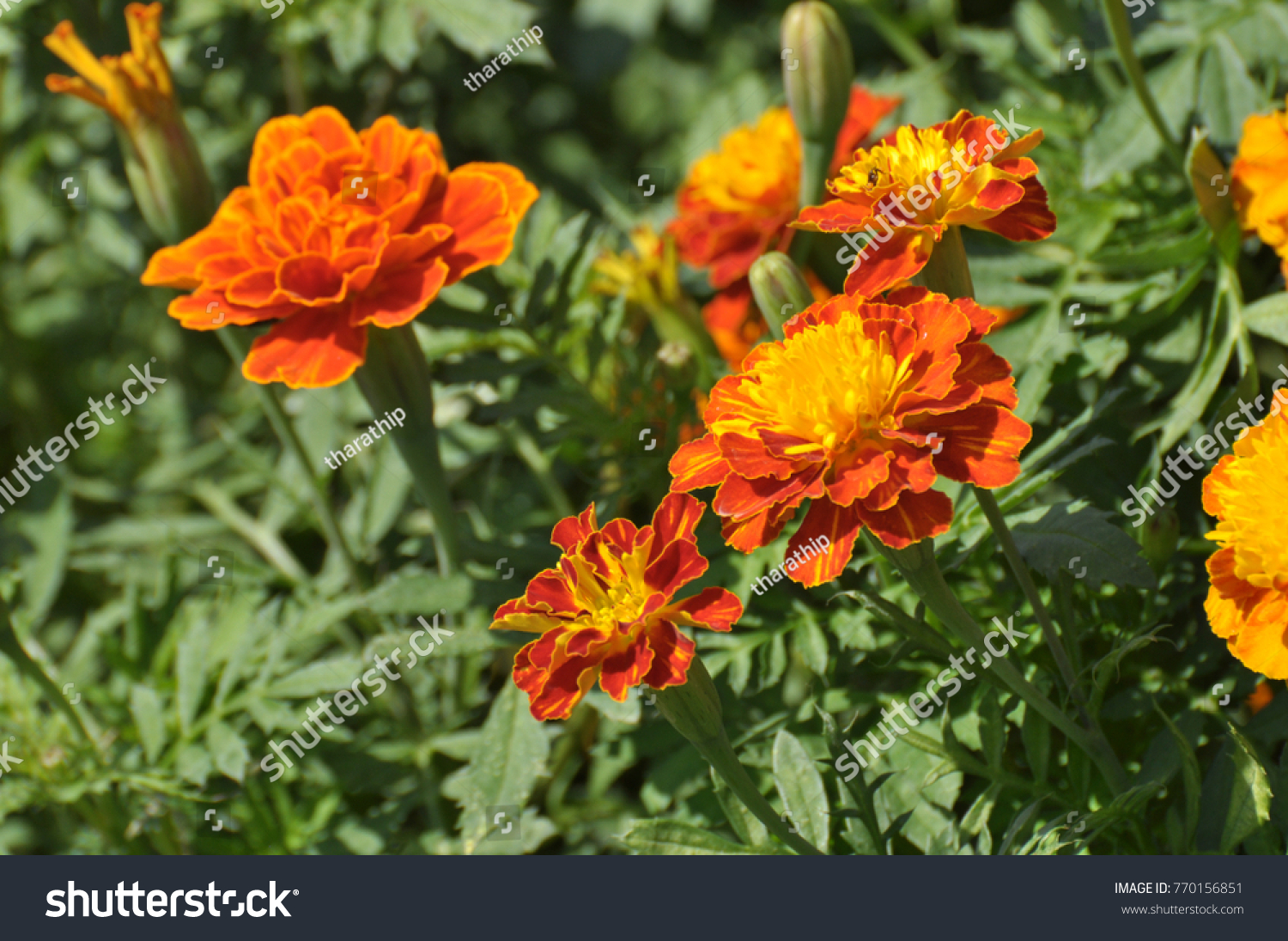 Marigold yellow color in many flowers plant.Yellow and orange ...