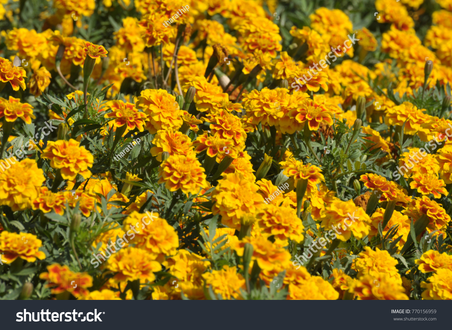 Marigold Yellow Color In Many Flowers Plantllow And Orange