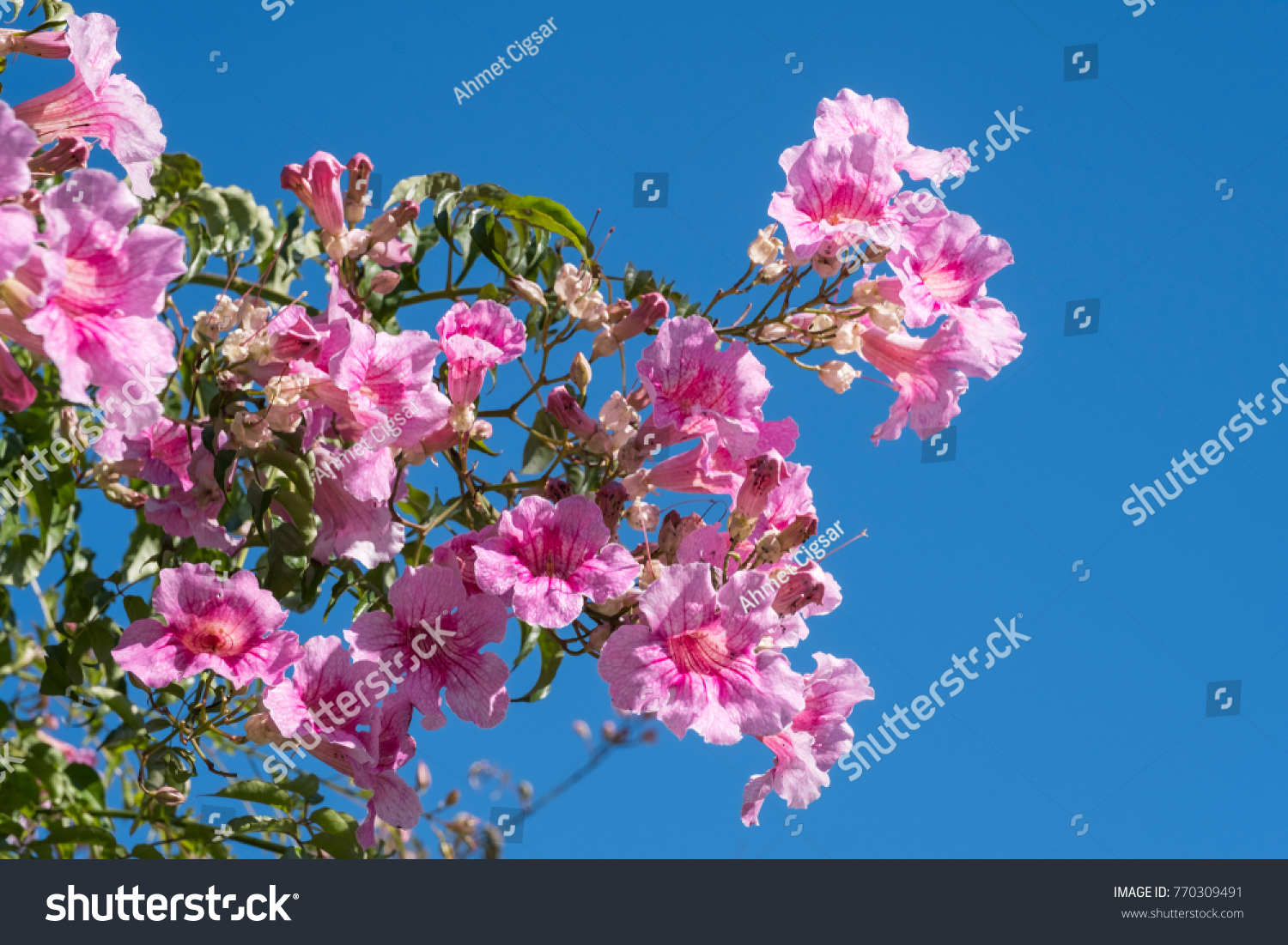 Lilac Pink Tree Flowers Clean Blue Stock Photo Edit Now 770309491