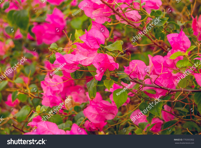 Bougainvilla Pink Ez Canvas