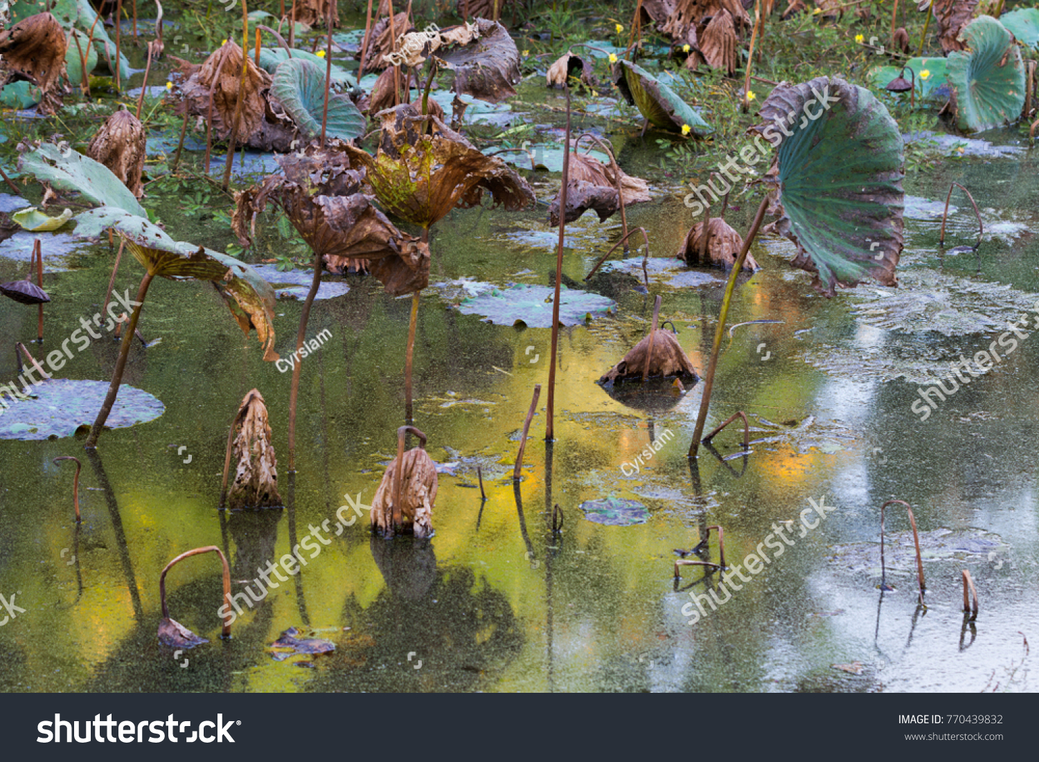 Waterlily pond dry dead water lilies stock photo edit now waterlily pond dry and dead water lilies dead lotus flower beautiful colored background izmirmasajfo