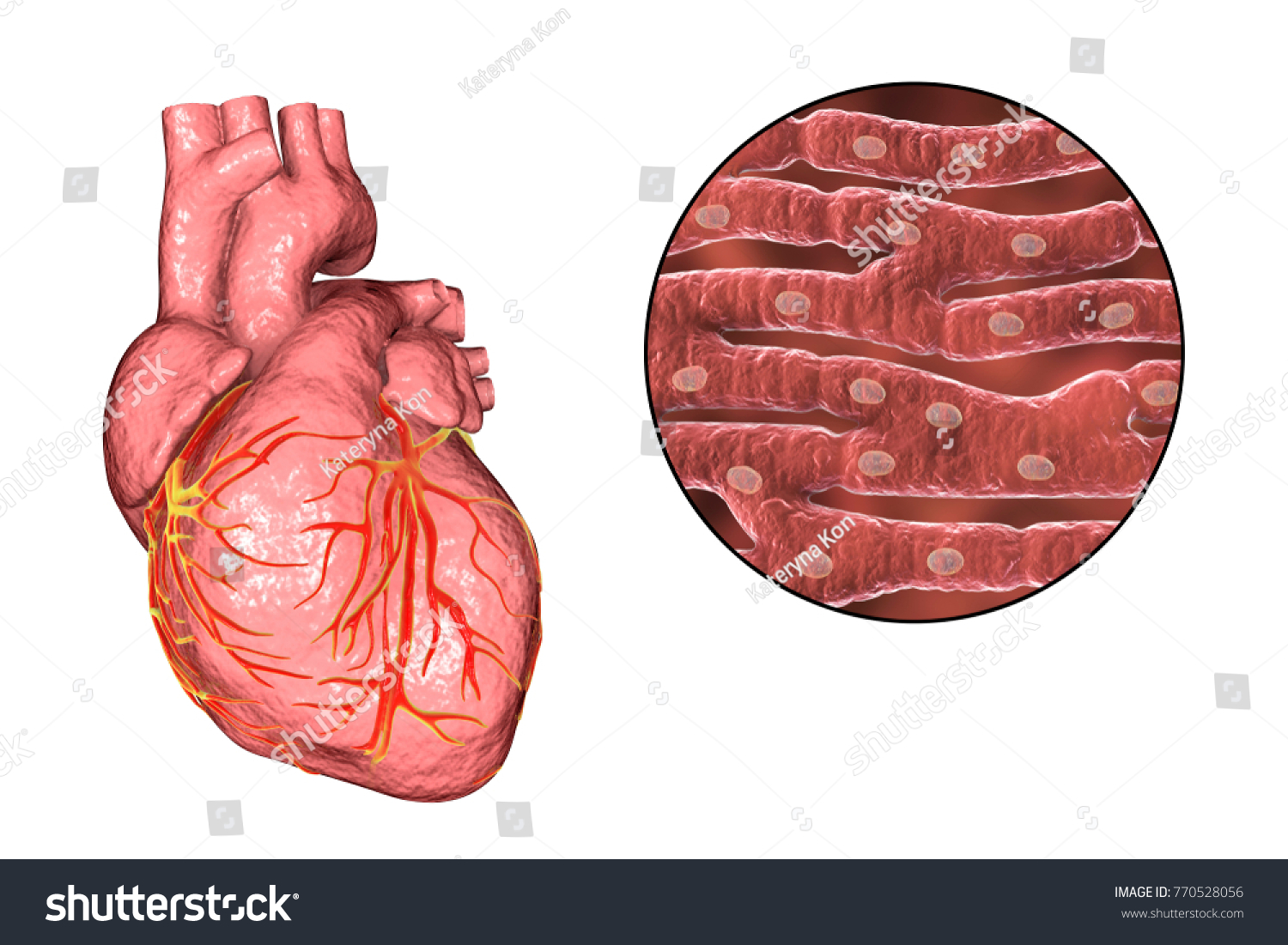 Human Heart Closeup View Cardiac Muscle Stock Illustration Royalty