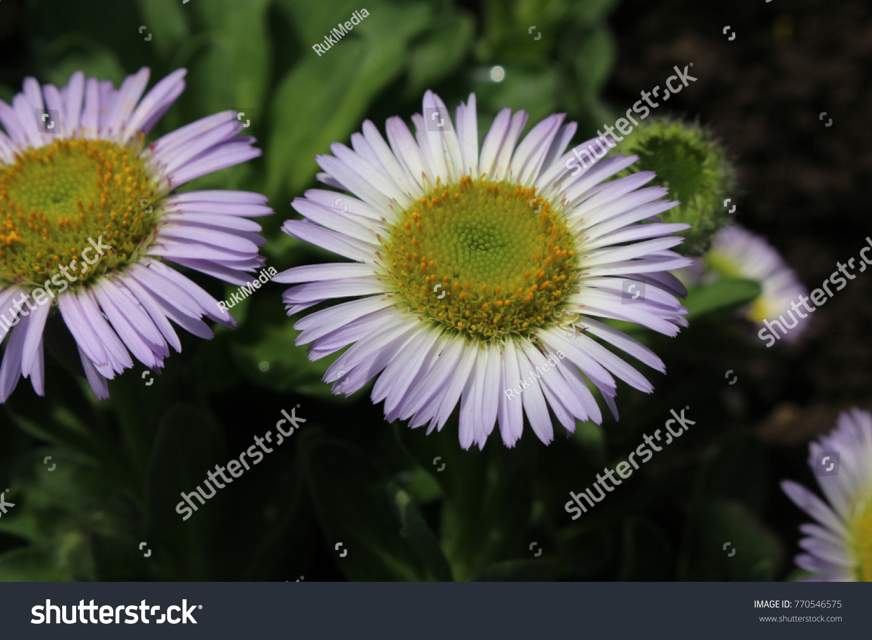 Seaside daisy flower or seaside fleabane stock photo royalty free seaside daisy flower or seaside fleabane beach aster in st izmirmasajfo