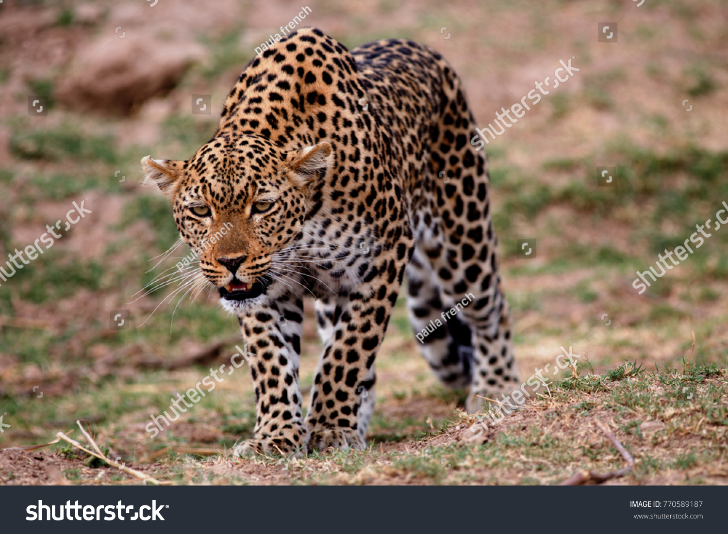 stock-photo-female-leopard-panthera-pard