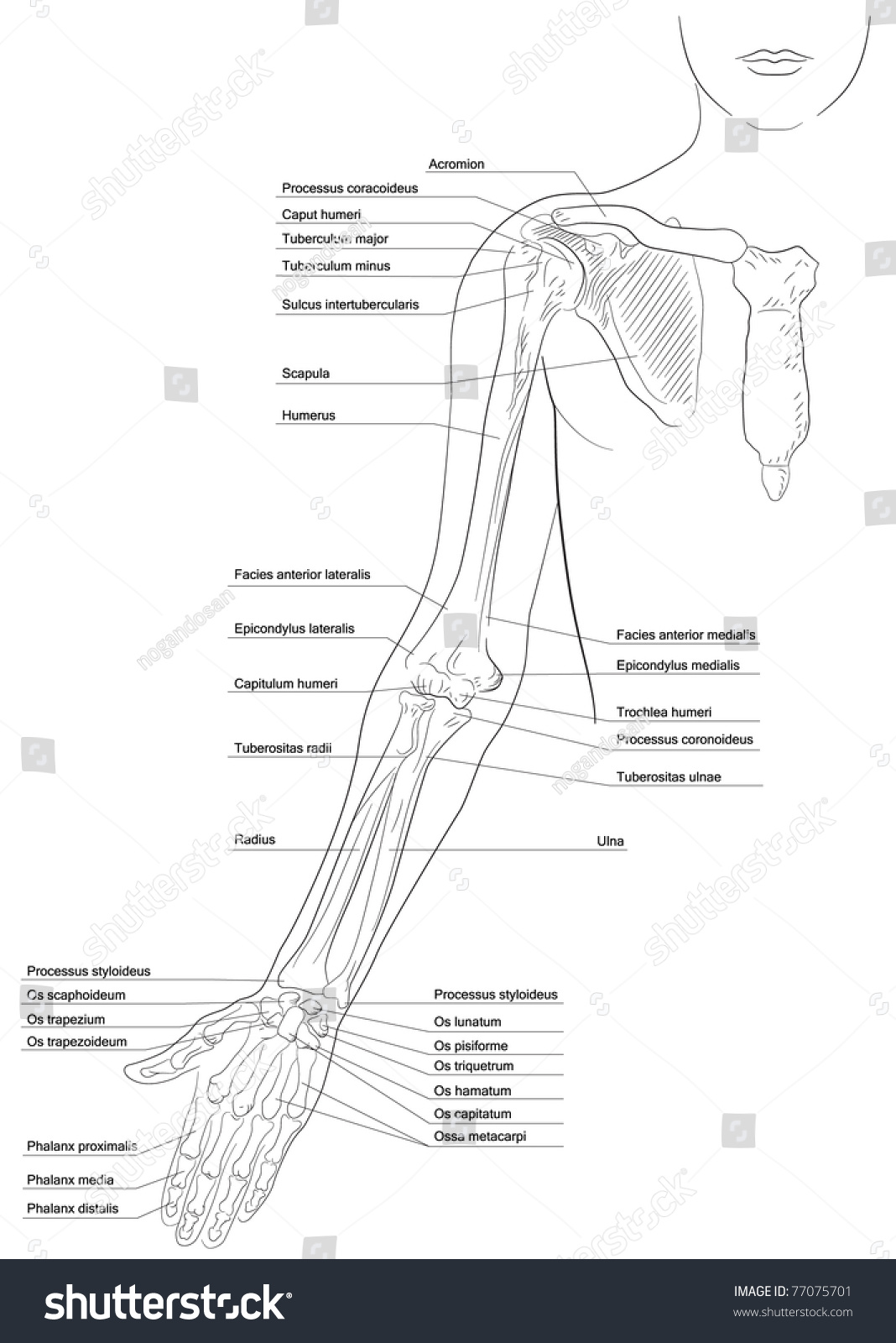 Upper Limb And Pectoral Girdle Diagram - Electrical Drawing Wiring ...