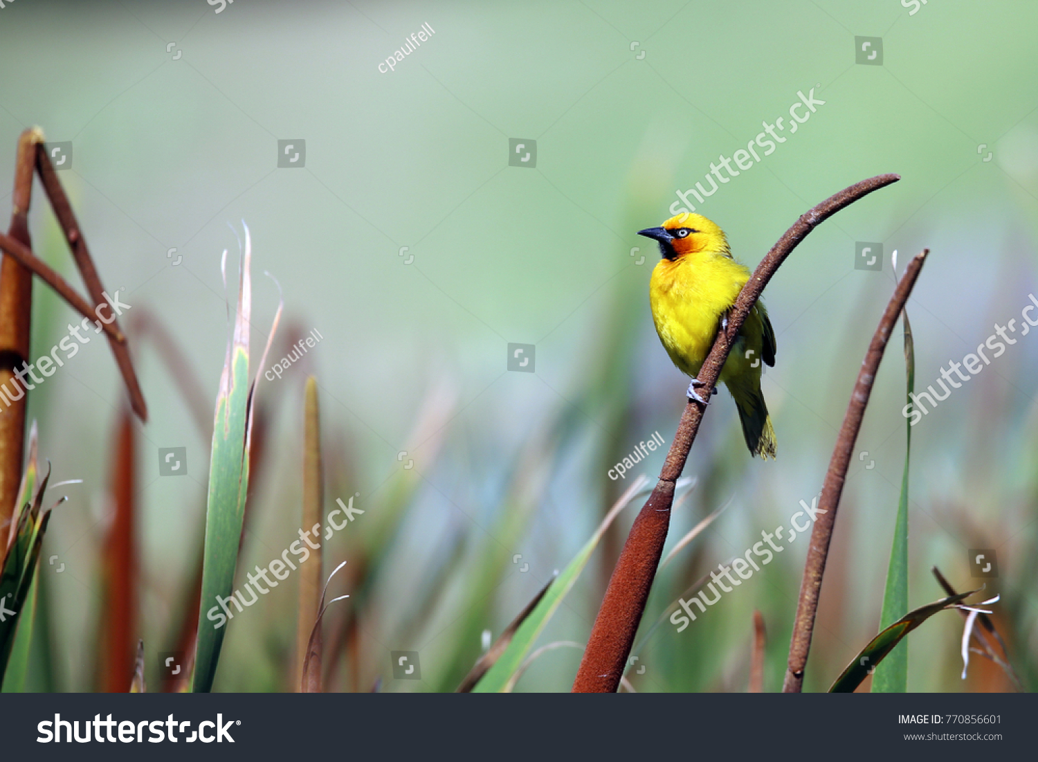 stock-photo-a-beautiful-male-cape-weaver