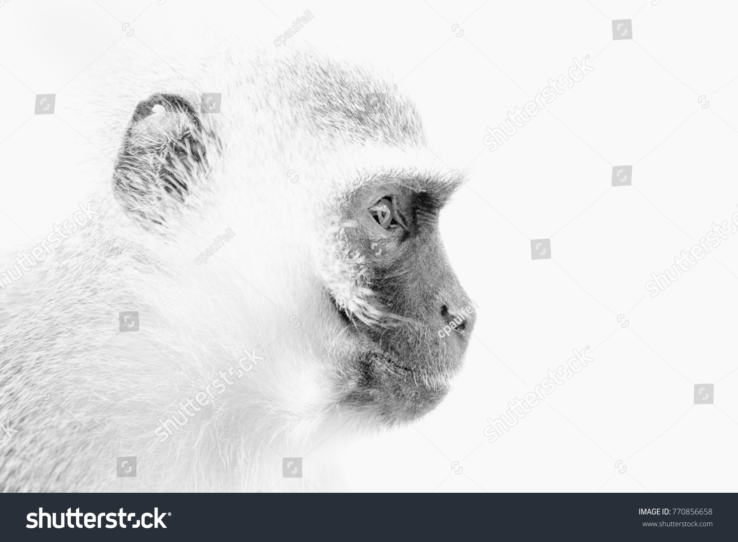 stock-photo-closeup-of-a-vervet-monkey-i