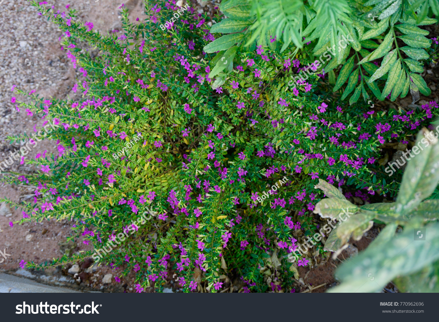 Cuphea hyssopifolia, False heather, Mexican heather, Hawaiian heather #770962696